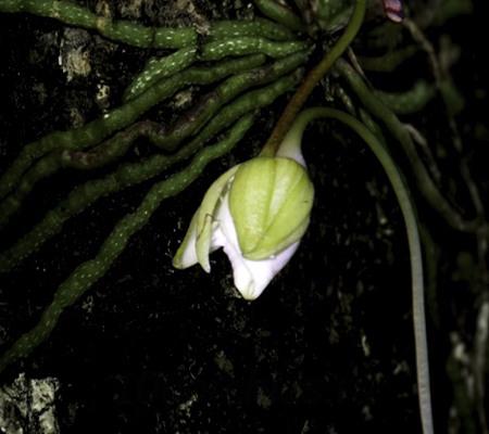 Корни орхидеи призрак