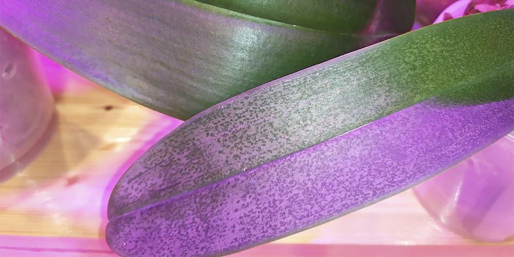 Листья орхидеи - строение