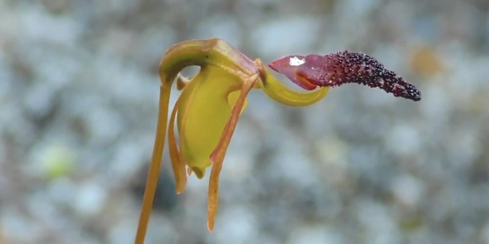 Орхидея Летящая уточка дод