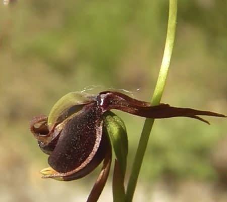 Орхидея уточка опыление