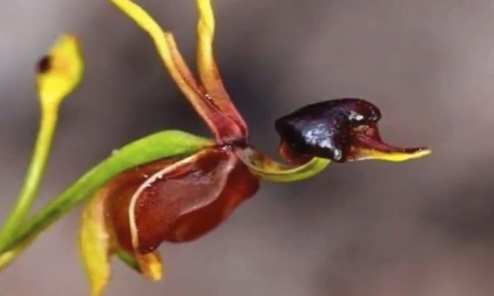 Орхидея уточка заставка6