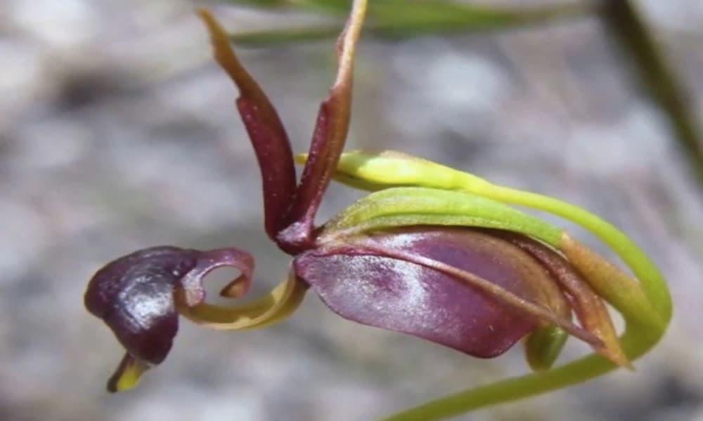 Орхидея уточка заставка7