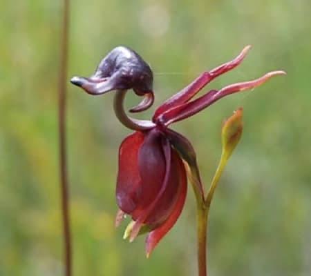 Орхидея уточка7