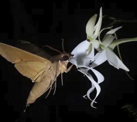 опыление орхидеи призрак