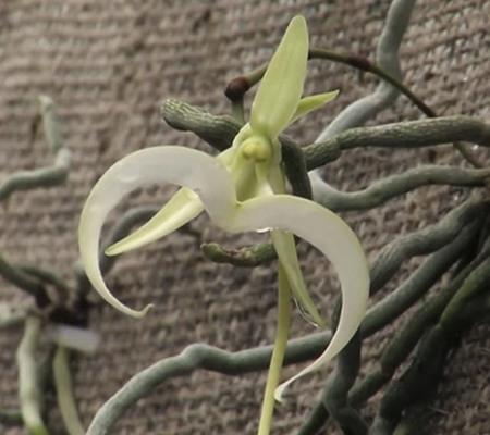 орхидея призрак2
