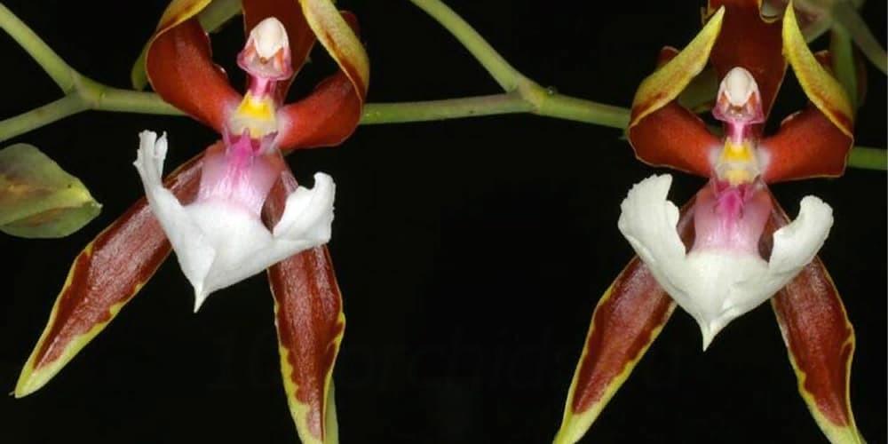 Орхидея балерина