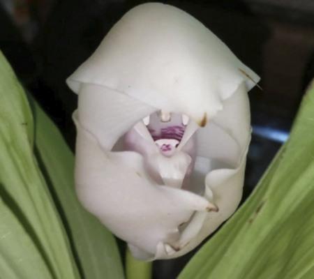Орхидея запеленованные младенцы