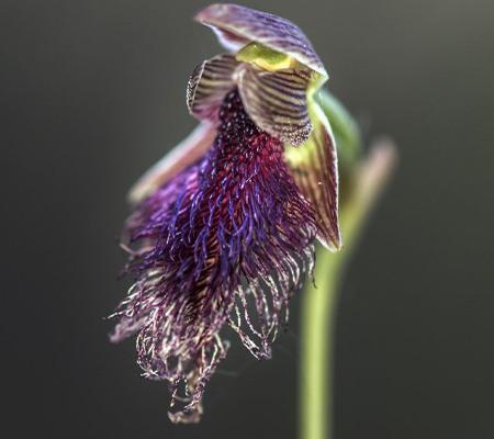 Calochilus caesius