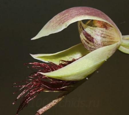 Орхидея Калохилус