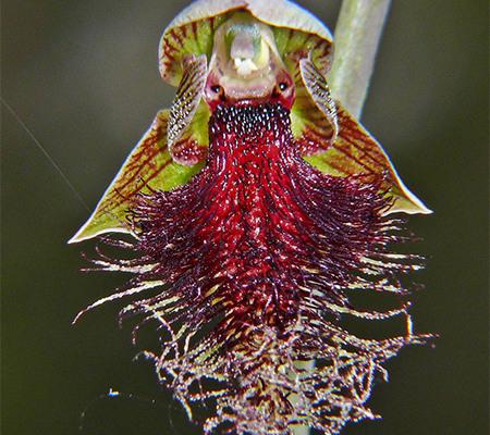 Calochilus stramenicola2