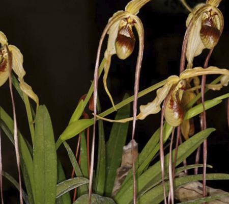 Фрагмипедиум1 орхидея