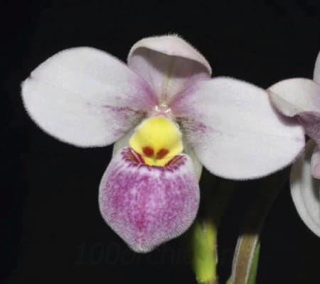 Фрагмипедиум 3 орхидея