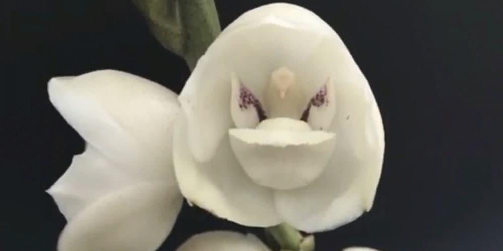 Орхидея голубь заставка1