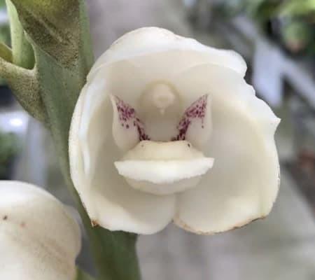 Орхидея голубь2