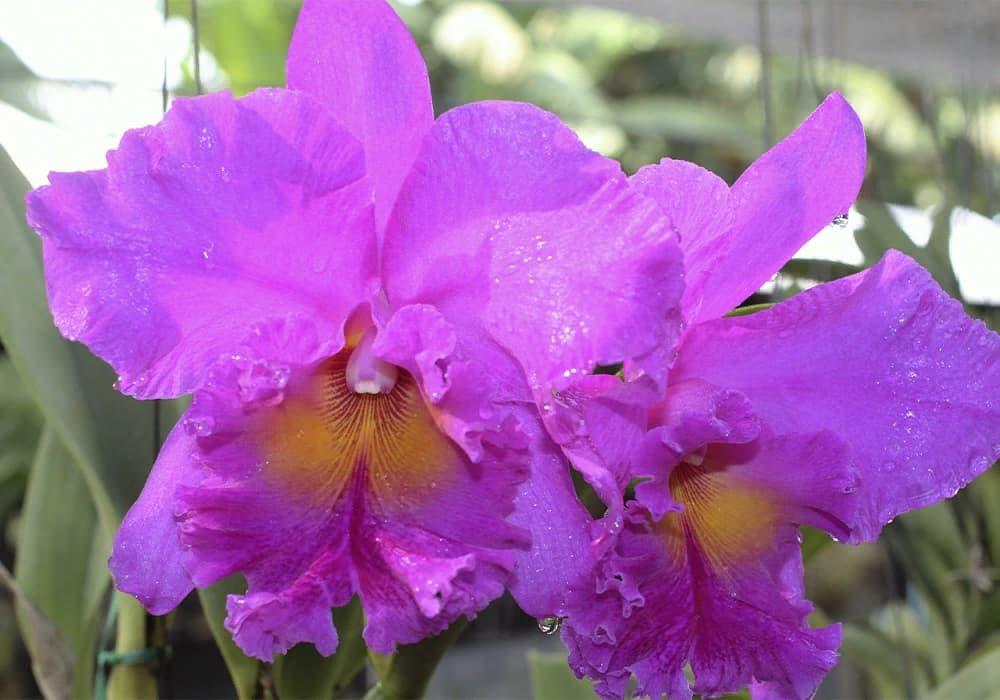 Орхидея каттлея 1