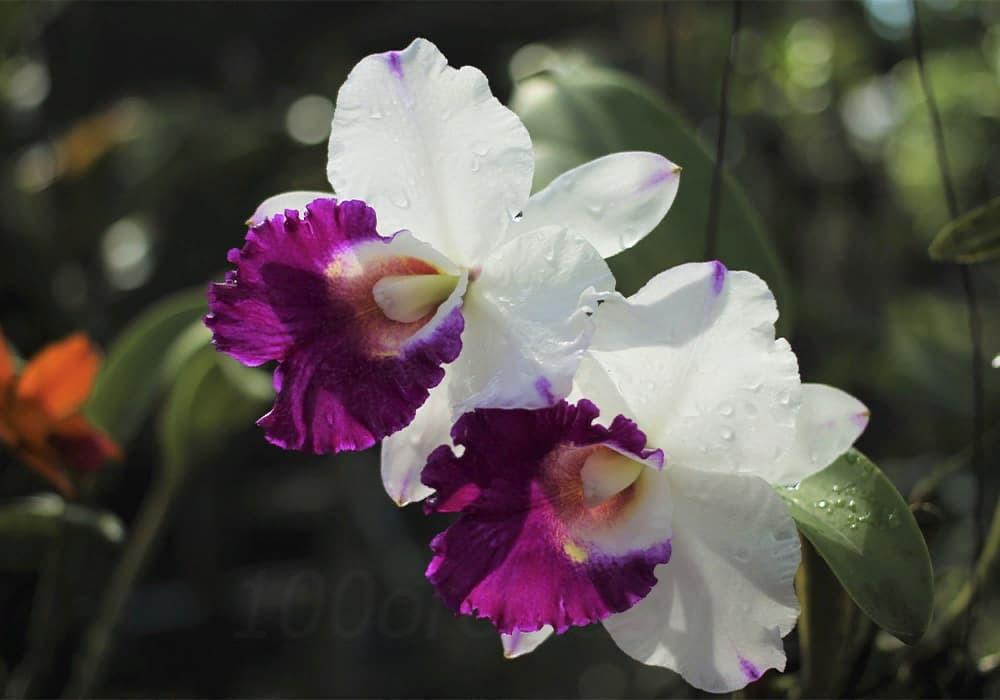 Орхидея каттлея 5