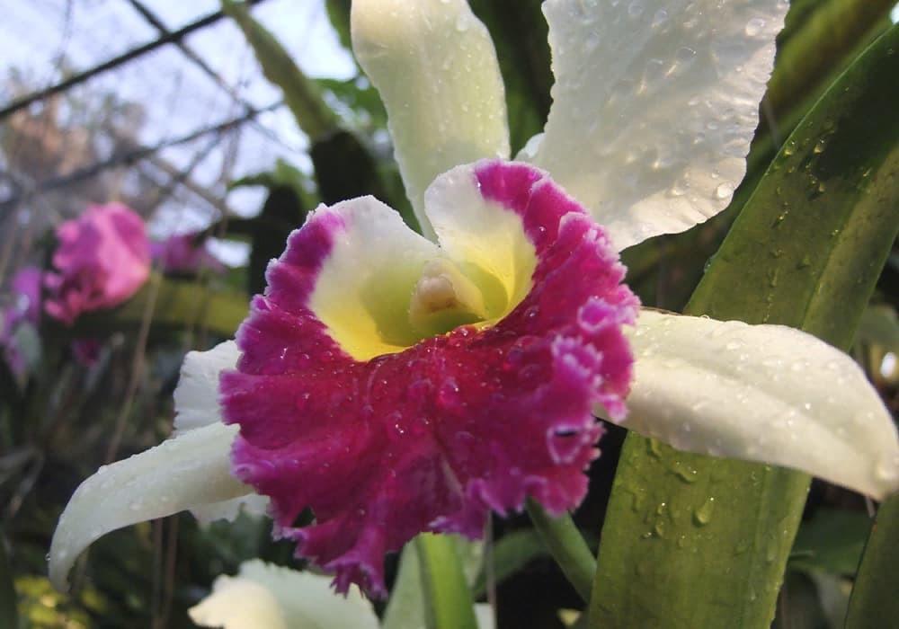 Орхидея каттлея 6