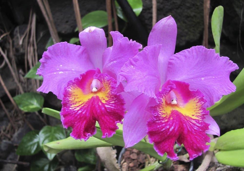 Орхидея каттлея 7