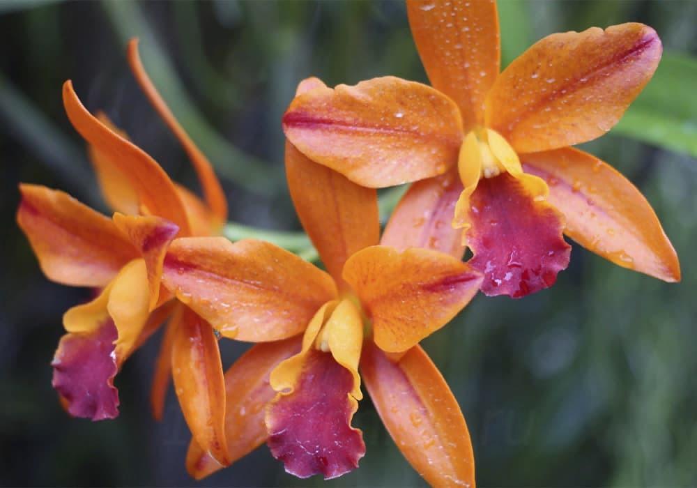 Орхидея каттлея 8