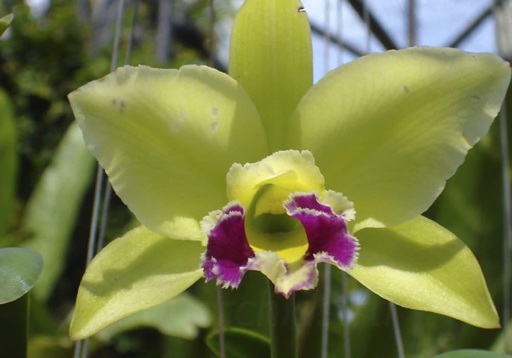 Орхидея каттлея 9