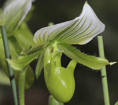 Орхидея Пафиопедилум Мауди