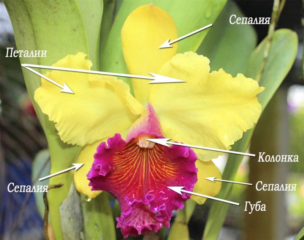 Строение цветка каттлеи