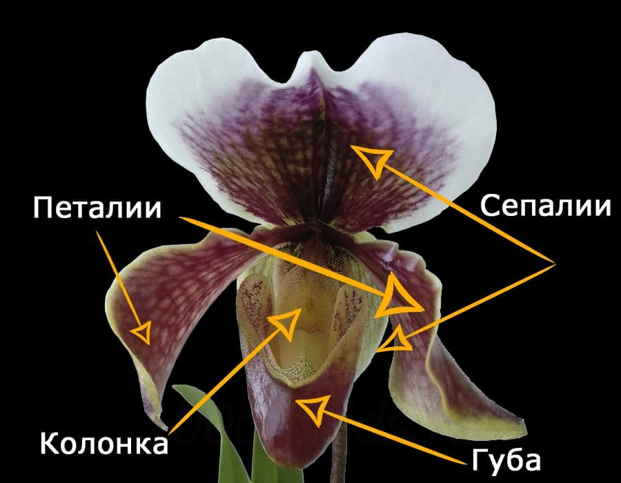 Строение цветка Венерина башмачка