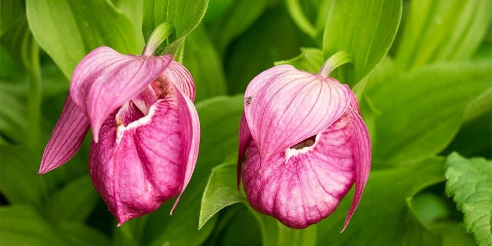 Циприпедиум орхидея