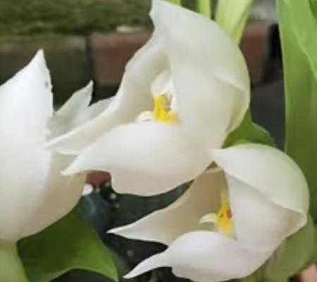 Anguloa Tognettiae орхидея