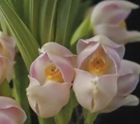 Орхидея младенец в пеленках