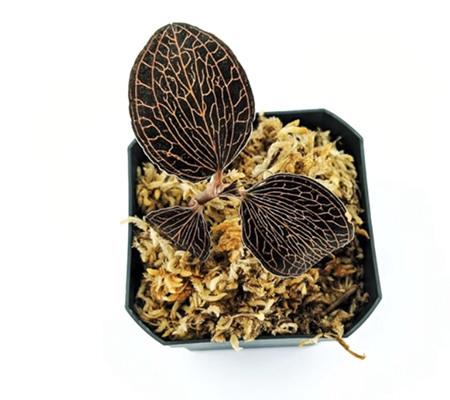 Анектохилус драгоценная орхидея