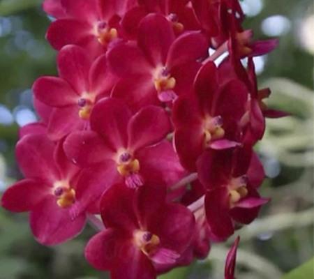 Ascocendra орхидея