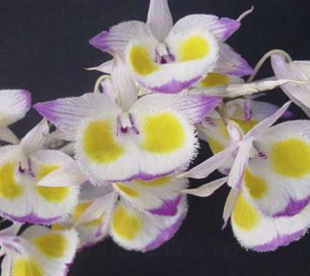 Девонский (Dendrobium devonianum)