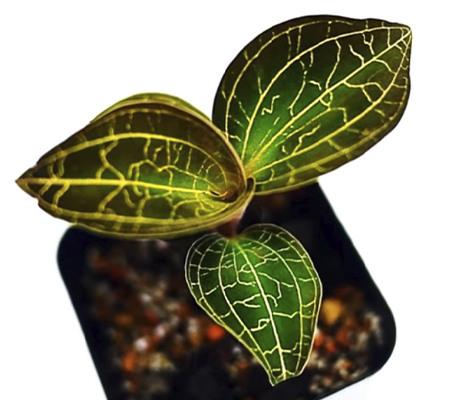 Досинохилус драгоценная орхидея