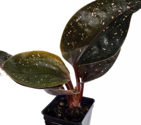 Драгоценная орхидея