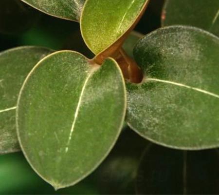 Green Velvet драгоценная орхидея Лудизия Гемария