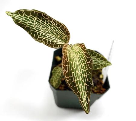 Гудиера драгоценная орхидея