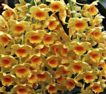 Густоцветный Dendrobium densiflorum