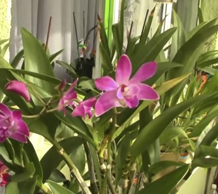 Кинга (Dendrobium kingianum)