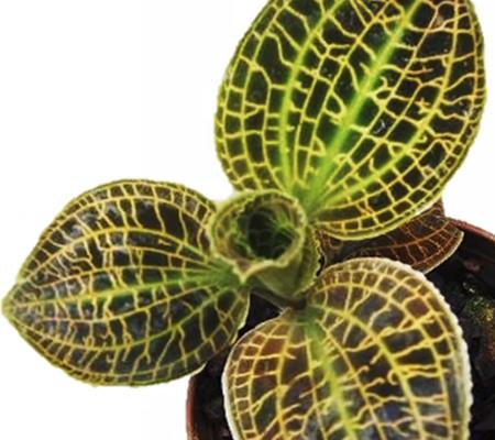 Макодес орхидея