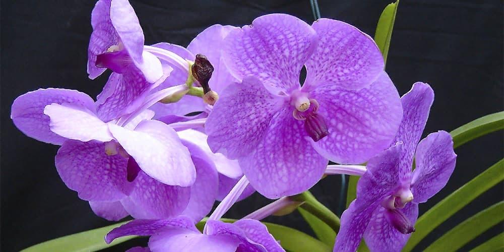 Орхидея Ванда 9