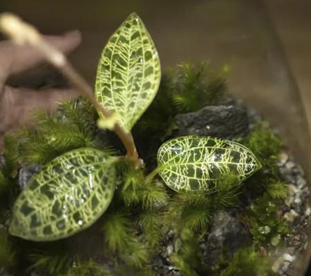 Освещение драгоценной орхидеи