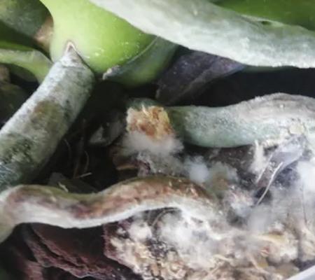 Плесень в горшке с орхидеей