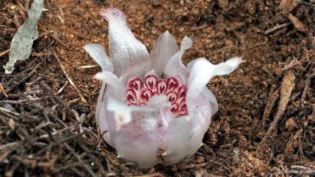 Rhizanthella gardneri3