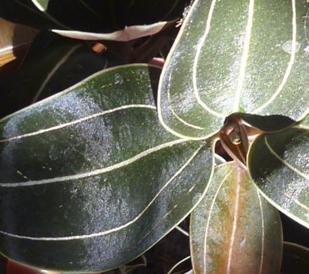 Silver Velvet драгоценная орхидея Лудизия Гемария