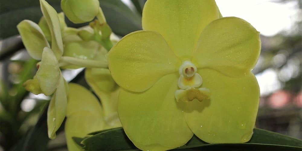 Ванда орхидея 3