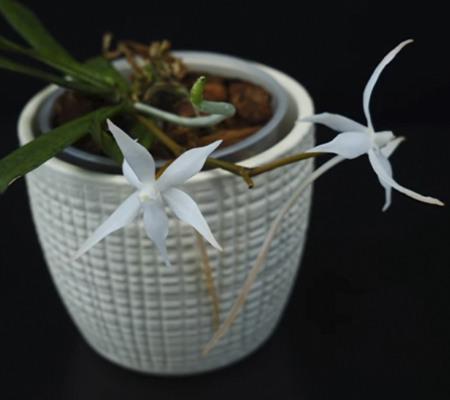 Aerangis орхидея мини