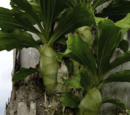 Катасетум в природе