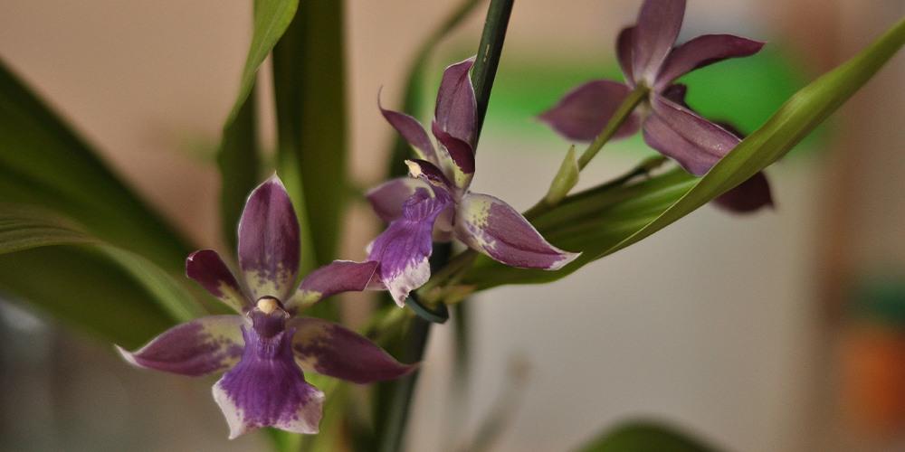 Орхидея Зигопеталум1
