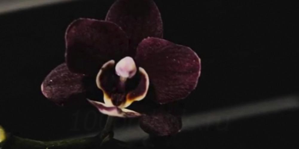 Phalaenopsis Black Jack